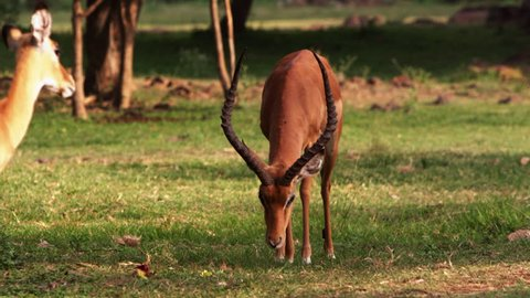 A group of impalas, several female and one male, graze outside. Filmed in Kenya, Africa.