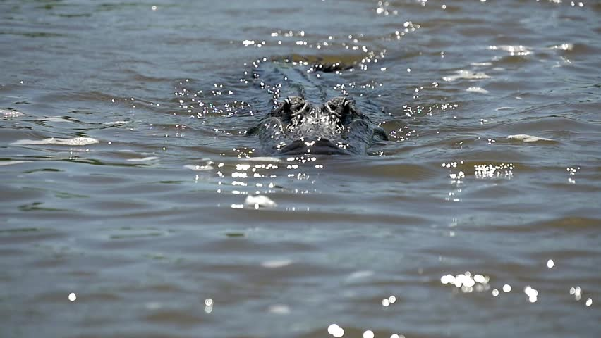 slow motion approaching and eating alligator