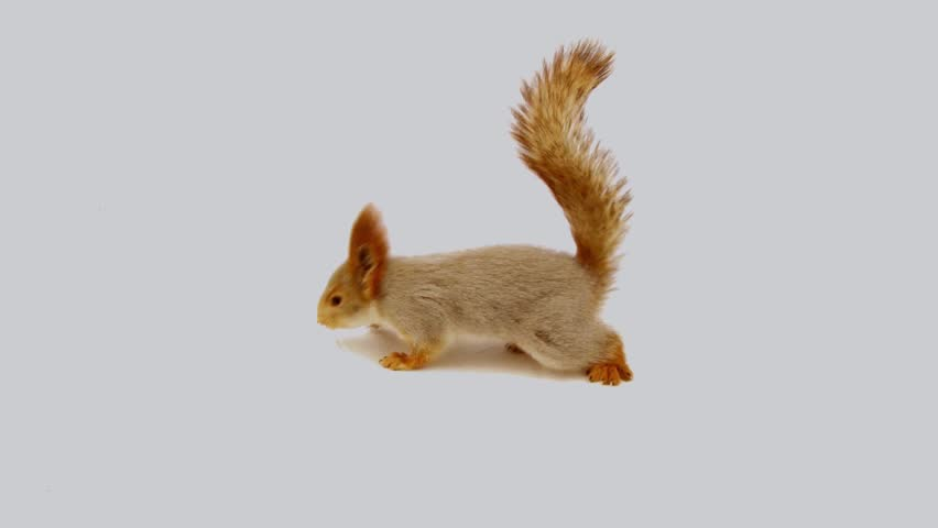 squirrel jumps in the studio with white backdrop