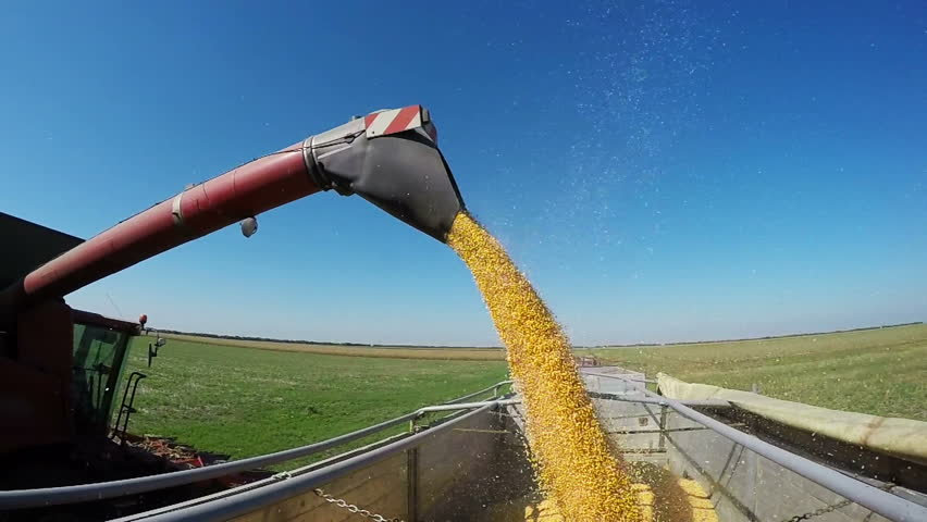 Corn Falling from Combine Auger into Tractor - Slow Motion. Combine Harvester Unloading Corn.