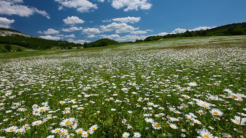 Valley With Camomile Flowers Timelapse Hd Stock Footage Clip