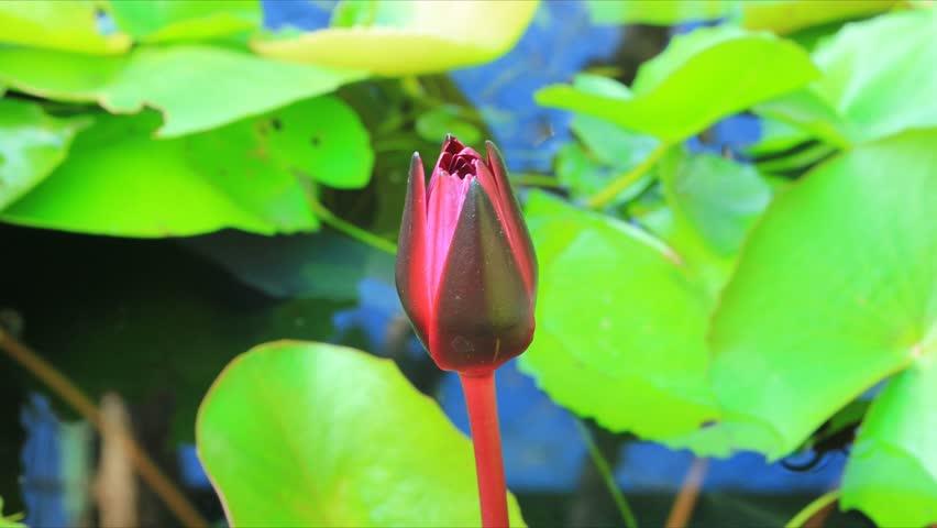 Lotus flower footage stock clips pink lotus flower in waterdolly shot time lapse lotus bloom mightylinksfo