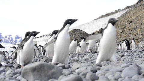 Adelie Penguins walk along beach in Antarctica