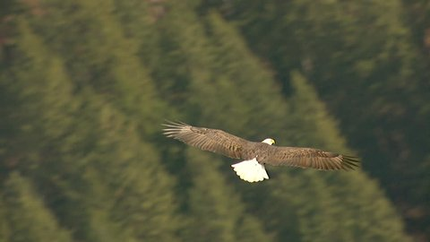WS TS AERIAL View of bald eagle flying over landscape / Nelson, British Columbia, Canada