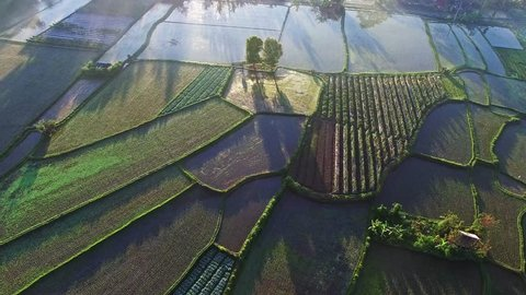 Rice terraces in Indonesia, Bali. Early morning Sun rise view and fog