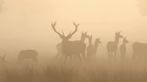 Red Deer in Morning Light at Sunrise
