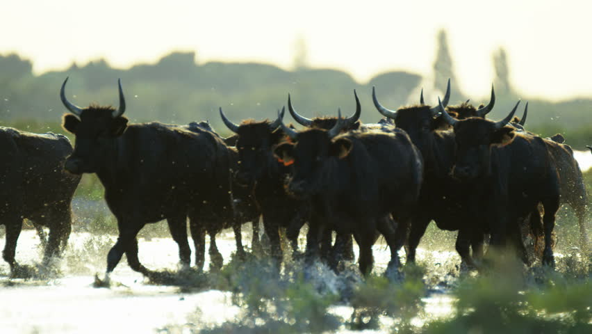 Camargue bull animal wildlife black cow livestock energy outdoor running marshland water France Mediterranean freedom travel RED DRAGON | Shutterstock HD Video #12292652