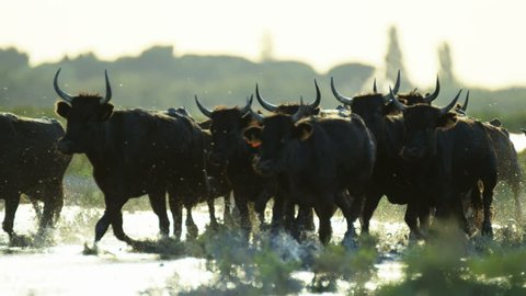 Camargue bull animal wildlife black cow livestock energy outdoor running marshland water France Mediterranean freedom travel RED DRAGON