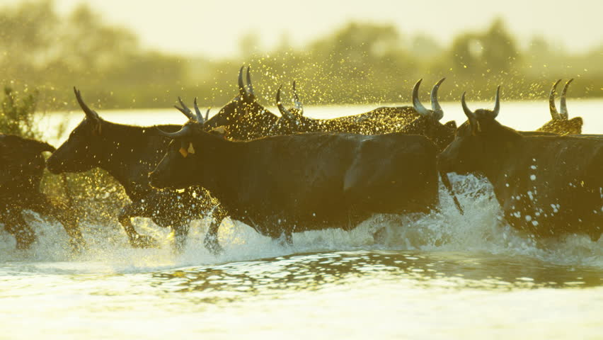 Camargue bull animal wildlife black cow charge charging outdoor running marshland water France Mediterranean freedom travel RED DRAGON | Shutterstock HD Video #12292844