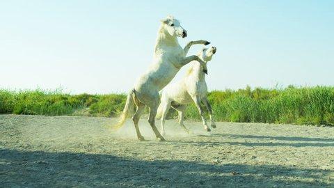 Horse Camargue, France animal Stallion Gelding fighting wild white freedom power Mediterranean nature outdoors tourism travel RED DRAGON