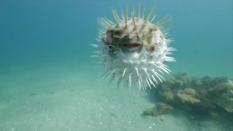 Pufferfish puffed up. A blowfish or globefish or porcupine fish. It shares these names.