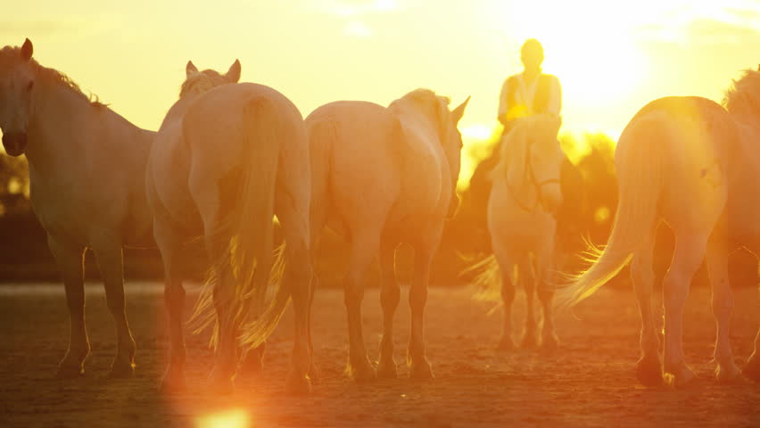Cowboy sunset Camargue, France animal horse wild grey livestock grass Mediterranean nature freedom herd tourism travel RED DRAGON | Shutterstock HD Video #12328052