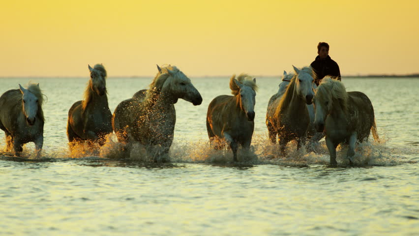 Camargue animal horses France sunset wildlife herd grey livestock trotting water Mediterranean nature outdoors marshland freedom RED DRAGON | Shutterstock HD Video #12329540