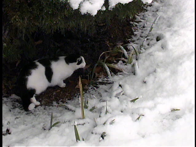 A small black and white cat seeks shelter from, and seems a bit baffled by, a snowstorm