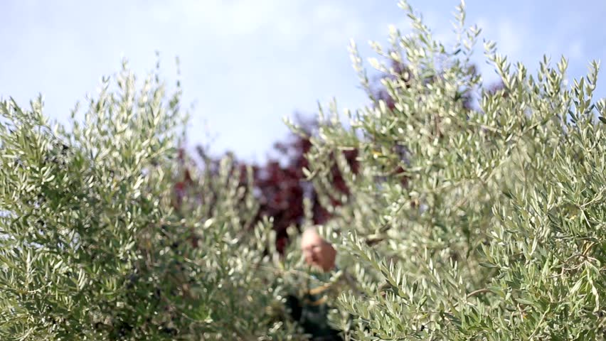 Montage of olive harvesting in an italian countryside. Italy. | Shutterstock HD Video #12445040