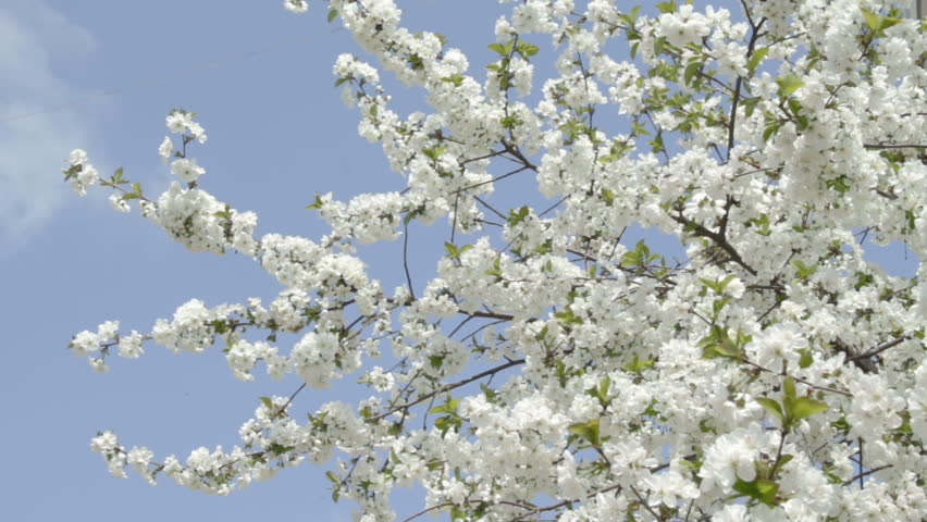 Branches Of White Cherry Tree In Blossom Smoothly Swaying On The Wind Against Clear Blue Sky Bees Flying Around And Trying To Gather Necter From