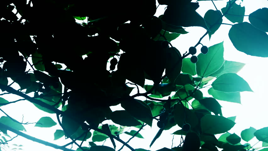 The dense branches foliage covered sky,sunlight through leaves. gh2_02387 #12520214