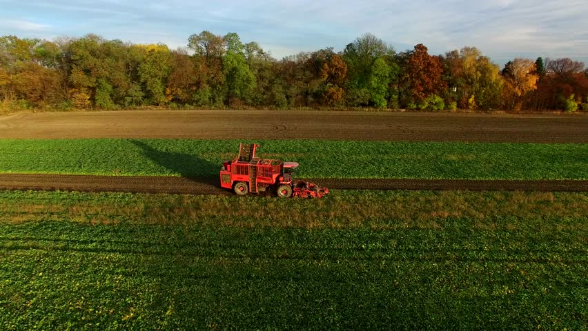 Sugar Beet Harvesting Technology,  Combine harvested beets in Poland