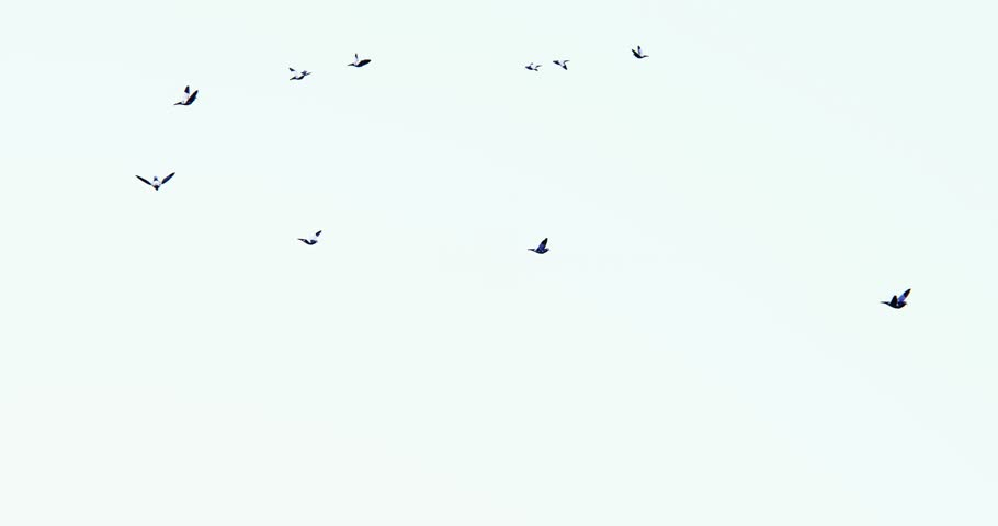 4k Flying birds. cg_02889_4k