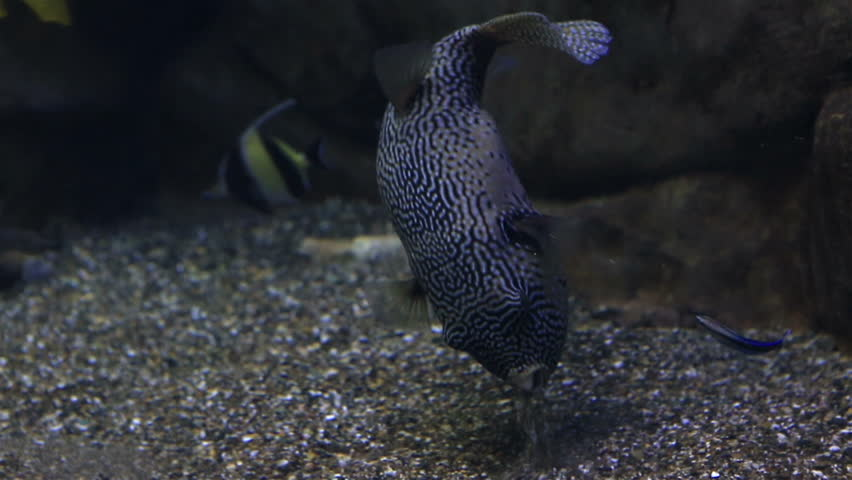 Tetraodon is a genus in the pufferfish family. Beautifully decorated Marine Aquarium. | Shutterstock HD Video #12593822