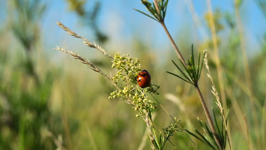 ladybug hurries on grasses