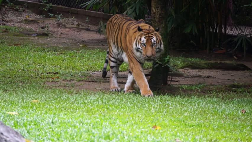 Malayan tiger (Panthera tigris jacksoni)