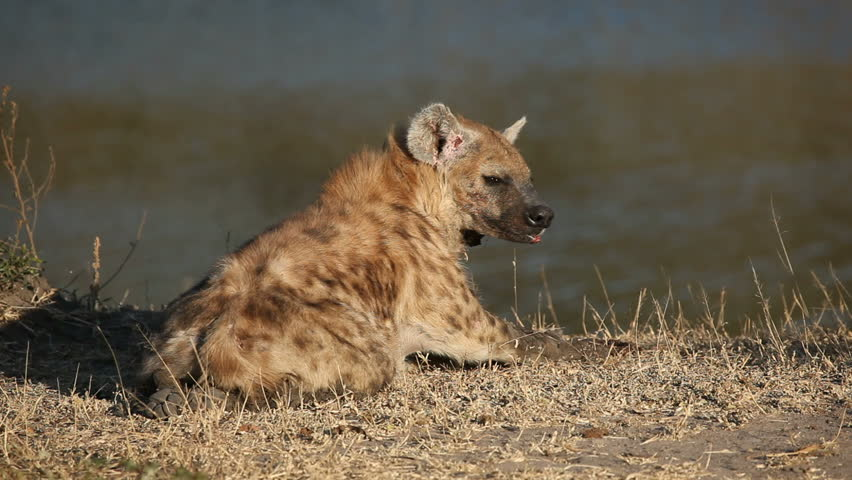 Spotted hyena (Crocuta crocuta), South Africa - HD stock footage clip