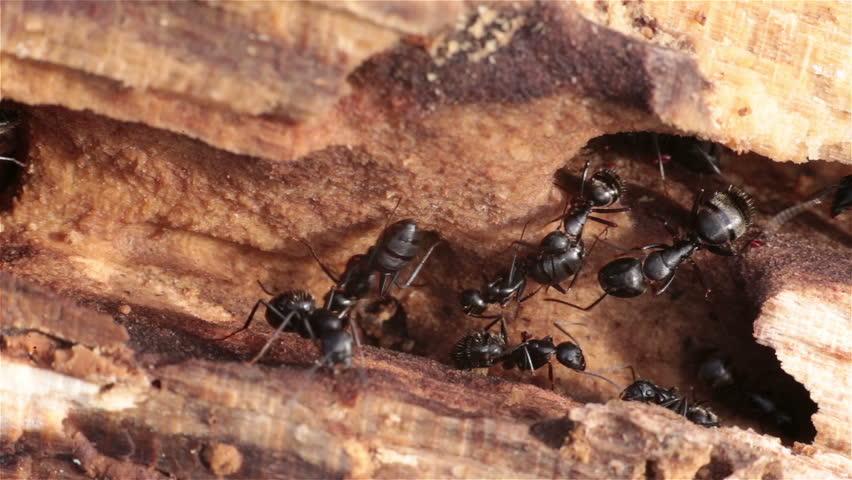 Black ants infestation burrowing crawling through rotten wood
