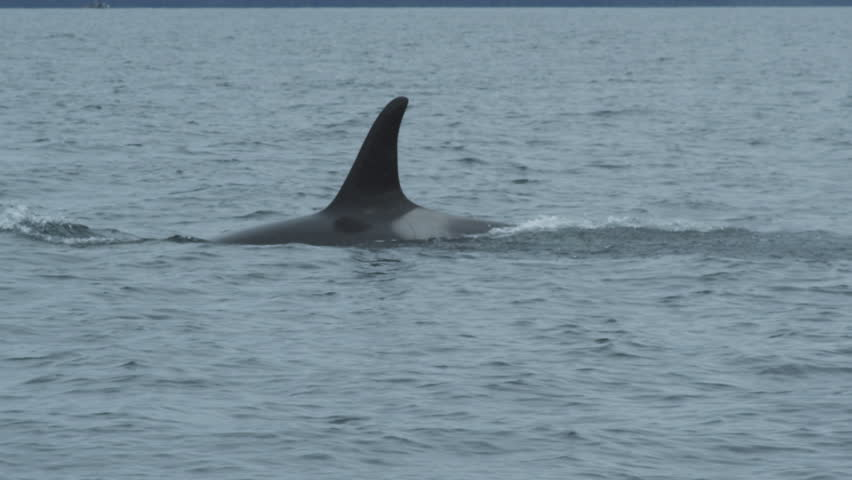 Slow motion CU orca (killer whale) mother and baby surfacing, Alaska, 2011 | Shutterstock HD Video #12761312