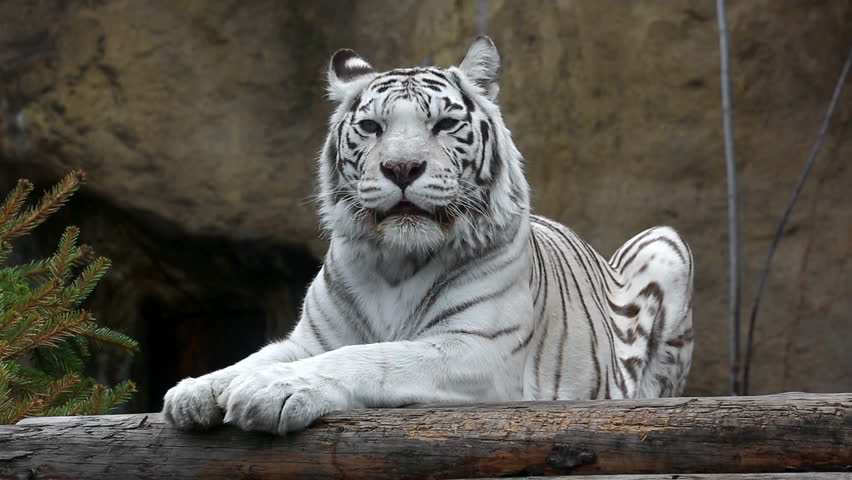 a tiger white of Pictures striped