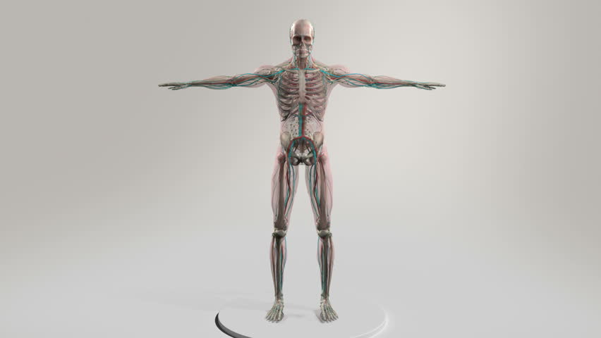 Male Human Anatomy Showing Full Body Rotation Royalty Free Video