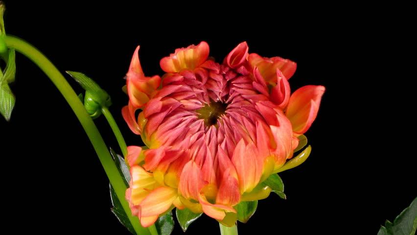 Timelapse of a dahlia(Dahlia sp.) flower blooming.