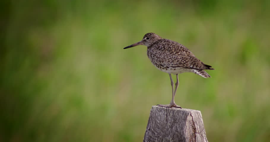 Nice shot of Willet shore bird standing on fence post with green dune grass in the background. #12929222