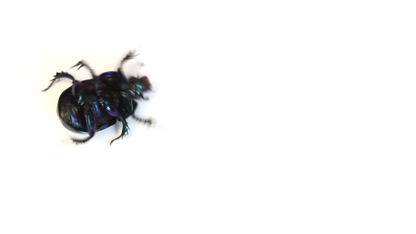 vidéo de stock de dung beetle closeup on a white 1297672