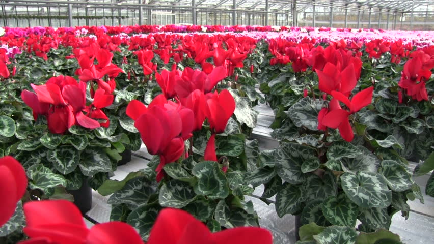 Beautiful garden flower and houseplant with winter blossom stock blossom cyclamen flowers cultivating in a greenhouse cyclamen a european plant of the primrose mightylinksfo