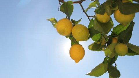 Lemon Tree With Ripe Lemons. Branches With Lemons