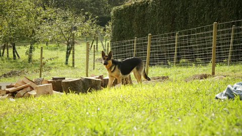 German shepherd smelling and tracking training