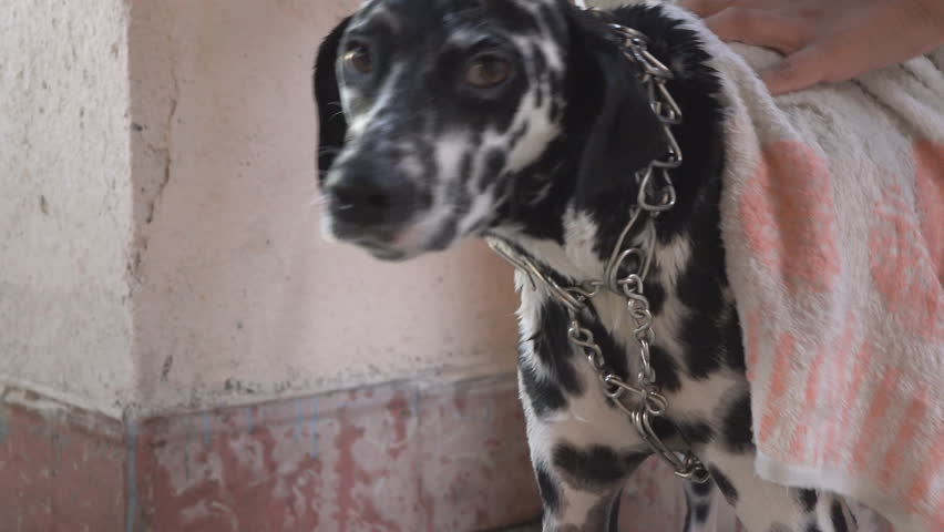 Female dalmatian dog pet resting in a house porch beautiful dalmatian dog pet getting a bath in a cuban porch during the summer months 4k sciox Image collections