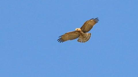Short-toed Snake Eagle hovering on the sky