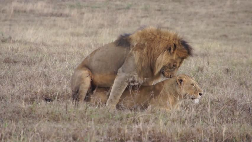 Lions have sex in the savannah (close up). Safari in Tanzania