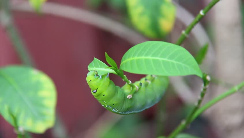 The caterpillars or larvae of the butterfly caterpillar means. Caterpillars eat leaves, but fresh.