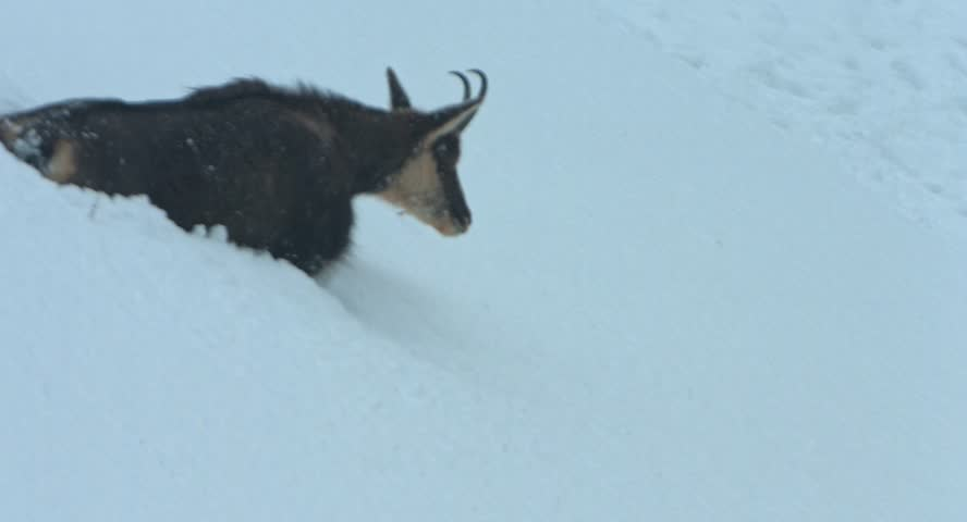 chamois walks in the snow of an avalanche and islooking for food in snowstorm in the Krimml Achental valley, winter 2015, Austria, Blackmagic Cinema Kamera 4K, Raw, , shot in 30fps