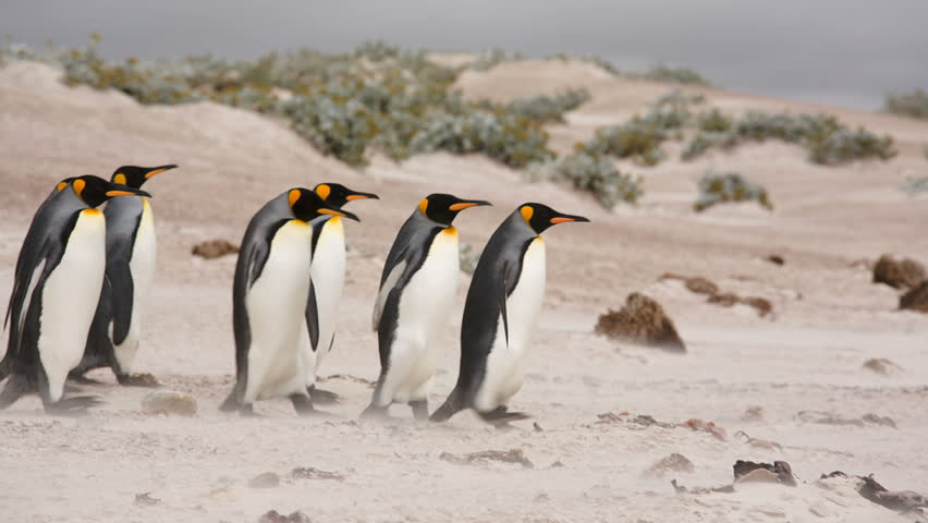 Volunteer Point, Falkland Islands. A line of King Penguins walking on the beach.