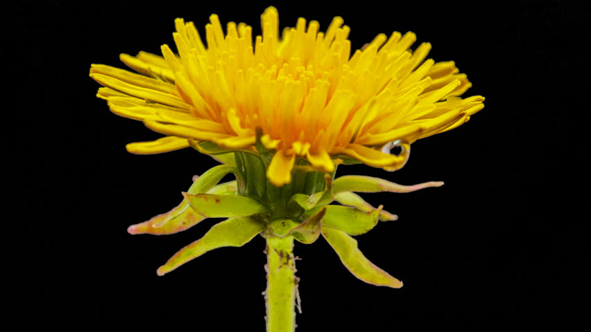 Dandelion flower timelapse isolated, encoded with photo png, transparent background/Dandelion flower cut out timelapse #13472033