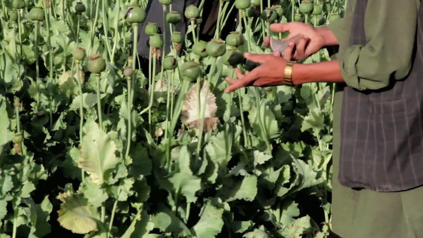 CIRCA 2010s - Afghan men grow opium poppies in the fields.