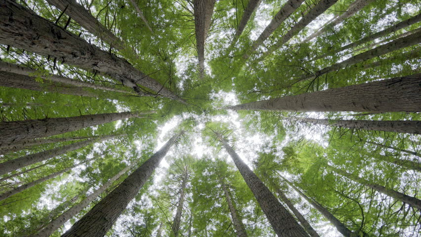 Looking up into forest canopy, camera rotating