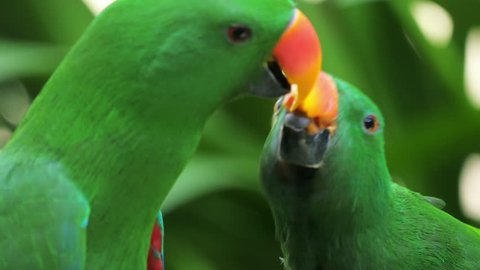Two cute green parrots feeding each other in tropical rainforest