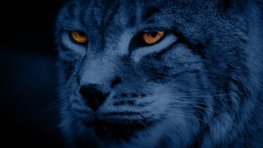 Big Cat Lynx At Night With Glowing Eyes