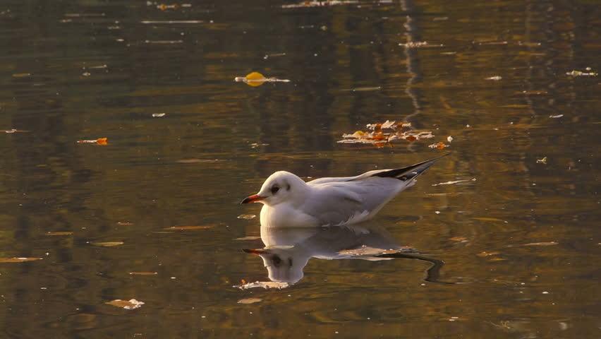 One seagull on water.  | Shutterstock HD Video #13802462