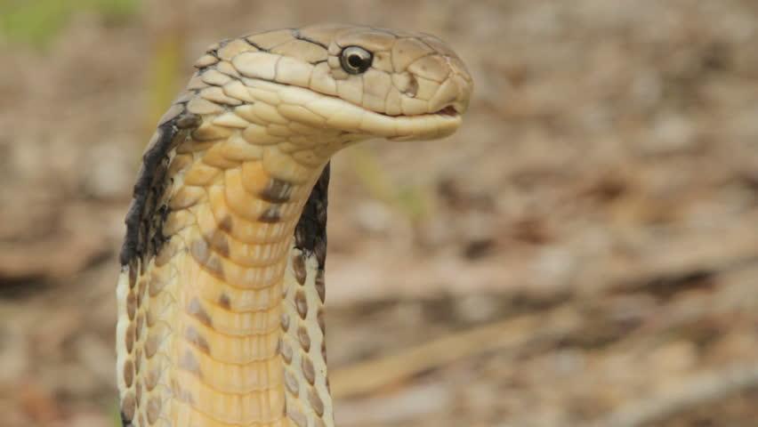 King Cobra angry & alert